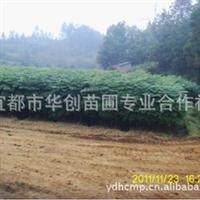 宜都华创苗圃常年大量供应,绿化苗木,黄山栾树(小苗)