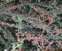 供应平枝荀子、红叶小檗