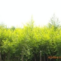 供应优质绿化八宝景天和三七景天