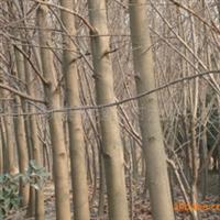 供应栾树,栾树小苗,栾树种子,栾树价格,栾树报价。