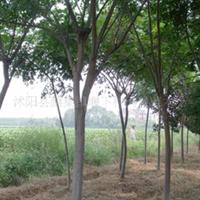 供应合欢,小苗,合欢种子,合欢价格,合欢报价天晨苗木场