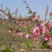 供应优质桃树苗,毛桃树,桃树