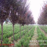 【绿化苗木供应】苏北花市低价出售优质3-10公分红叶李