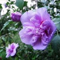 重叠花卉 木槿花 绿篱及庭院布置 地栽灌木池塘边种植也适宜
