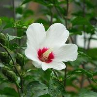 白色单瓣木槿花 盆栽 露地灌木 绿篱及庭院布置 水滨种植都很适宜