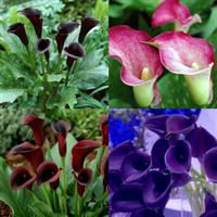 彩色马蹄莲种球 进口大球 盆栽花卉 品种齐全