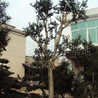 低价供应造型构骨苗木