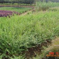 迎春小苗 红瑞木 连翘 常年供应绿化苗木,树桩盆景,室内盆景