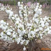 大量出售绿化苗木 日本海棠 贴梗海棠