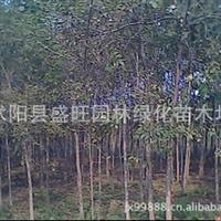 白蜡种子,白蜡树,白蜡价格,白蜡基地