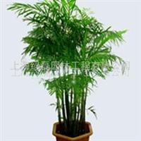 供花卉植物租赁/夏威夷椰子/花木出租/绿植盆景租赁