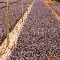 大量供应小苗  红花��木