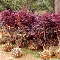 供应小乔木红继木 工程苗木 绿化苗木