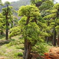 供应湖南乔木榆树 胸径7-15公分 移栽榆树