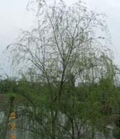 大量供应2-5cm垂柳等绿化苗木
