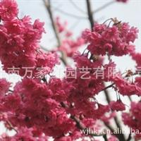 供应台湾牡丹樱苗木