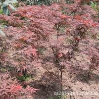 供应名优绿化美国红枫树