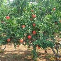 供应石榴树