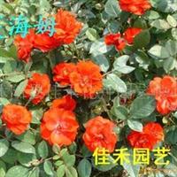供��(精品月季�@)保�r快�f各�N月季  花卉苗木