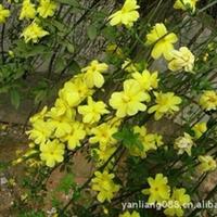 供应扶芳藤、迎春等攀援植物