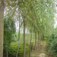 供应垂柳、金丝柳、青钱柳、柳树、速生柳、龙须柳(图)