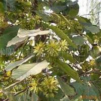 供应喜树种子、麻疯树种子、麦冬种子、大叶女贞种子(图)