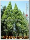 供应绿化苗木水杉,水桫