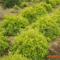大量供应红花锦带、红花继木球、红叶小檗等低价出售