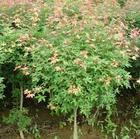 常年供应香椿树、三角枫、五角枫、耐寒香樟等绿化苗木