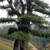 供应湖南苗木造型榆树