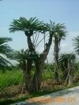 供应千年珍贵苏铁树 500年以上