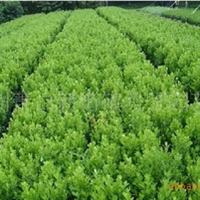 大量低价出售自产自销各种规格 花木苗木灌木乔木瓜子黄杨(图)
