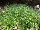 直�N大�~��冬草、中�~��冬草、小�~��冬草、金���冬草