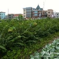 低价直销各种规格绿化紫荆工程苗