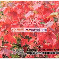 【美国红枫】园艺品种,秋季完美变色,展现不一样枫景
