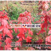 山东美国红枫,秋火焰园艺品种由山东泗水美枫园林专业扦插繁育