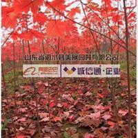 火爆预定【美国红枫】园艺品种种苗,山东美国红枫诚信供应