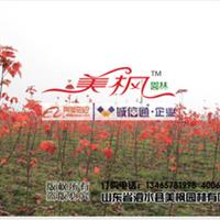 山东美国红枫专业供应商-山东泗水美枫园林有限公司-秋火焰
