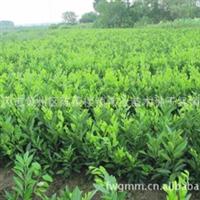 大量销售脆皮金桔,蜜桔苗,桔树苗,桔子树苗,果树种子种苗