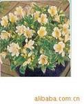 供应六出花