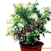 绿化苗木、芳香作物、九里香球