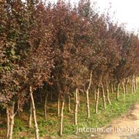 济宁天成苗木供应4----12公分紫叶李、红叶李等绿化苗木