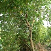 供应桑树、乔木。