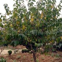 供应腊梅,苗木,灌木D径:D2-3-6-8厘米