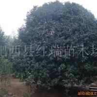 供应大(金)桂花,苗木,灌木