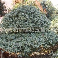 大量供应 绿化乔木:优质枸骨小苗