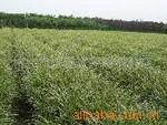 大量供应金边、银边麦冬草,低价优质的产品,您选择了吗?