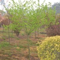供应绿化苗木-各种规格红叶李  绿化乔木 重庆地区
