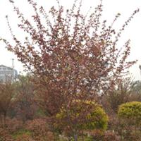供应苗圃 樱花、樱花树、等乔木供应 量大从优 重庆地区