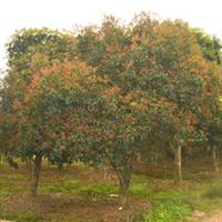 [最新供应]黄葛树/黄桷树/黄角树,标准工程用苗 重庆地区